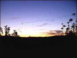 Geese at Sunset - Cave Run Lake area
